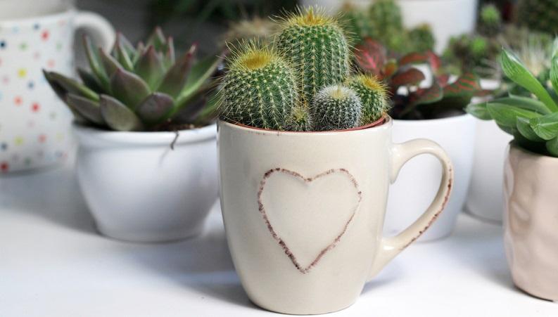 C mo cultivar un cactus for Como plantar cactus
